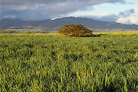 Sugar cane fields<br />   near Olokele<br /> Island of Kauai<br /> Hawaii