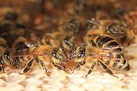 Honeybee on a comb.