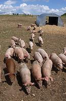 Outdoor piglets. Pigs.