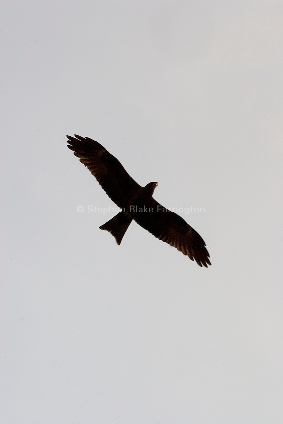 """Raptor, called """"Kite"""" by the locals. Nimule, Sudan, Africa, 2005"""