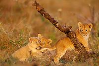 African lion (Panthera leo) cubs playing on fallen tree, Masai Mara Nional Reserve, Kenya.