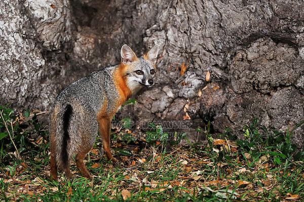 Gray Fox (Urocyon cinereoargenteus), adult at night by Live Oak tree (Quercus virginiana), Dinero, Lake Corpus Christi, South Texas, USA