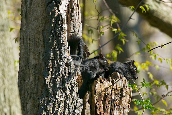 Young Melanistic Eastern Gray Squirrels (Sciurus carolinensis) near their nest in dead tree.  Ontario.  May