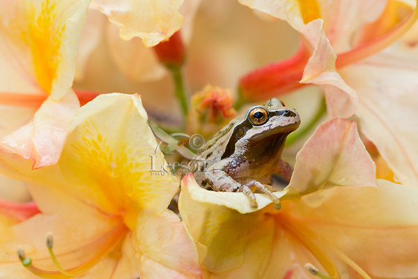 Pacific tree frog (Pseudacris regilla), also known as the Pacific chorus frog on backyard, domestic azalea blossoms.  Pacific Northwest, May.