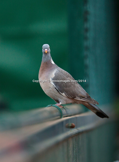 France, Paris, 28.05.2014. Tennis, French Open, Roland Garros, Pigeon on the fence<br /> Photo:Tennisimages/Henk Koster