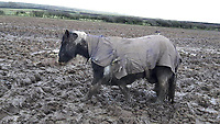 Pictured: One of the horses rescued.<br /> Re: Horse trader Thomas Price who was convicted of causing unnecessary suffering to animals, has been jailed and banned for life from keeping animals by Merthyr Tydfil Magistrates' Court, Wales, UK.<br /> Price, 56, of Bonvilston, Vale of Glamorgan, was sentenced to six months in a case brought by three councils.<br /> A total of 240 horses were taken into care after they were found in atrocious conditions the court heard.<br /> A flock of sheep in a poor state of health was also rescued.