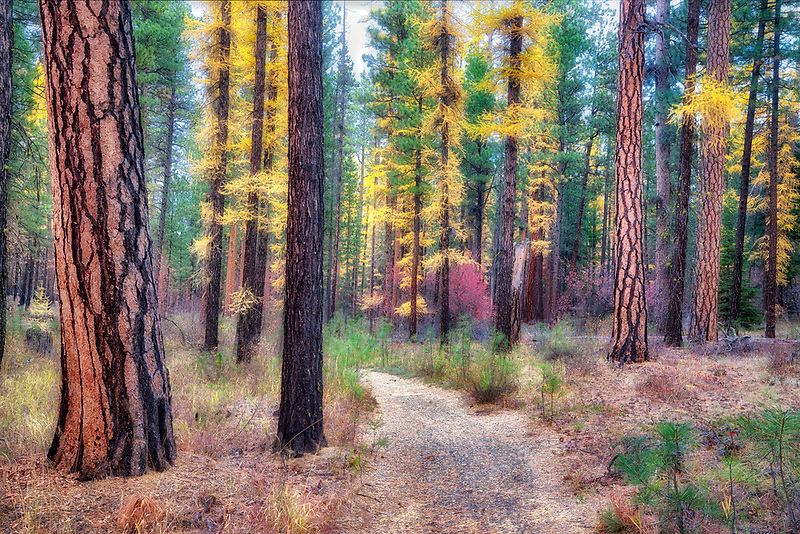 Path through Larch (Tamarac) and Ponderosa Pine trees. Near the Metolius River, Oregon