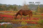Bob, ANIMALS, REALISTISCHE TIERE, ANIMALES REALISTICOS, horses, photos+++++,GBLA4451,#a#, EVERYDAY