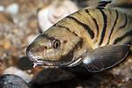 Northern Kingfish close-up