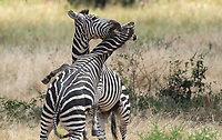 Male Grant's Zebras, Equus quagga boehmi, fight for dominance in Tarangire National Park, Tanzania