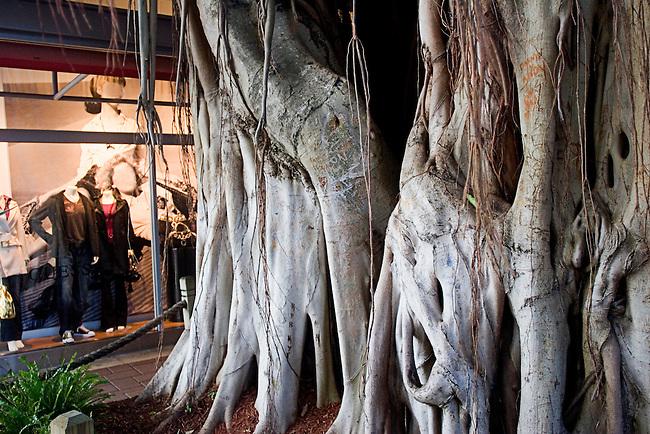 Large Tree Trunk, Bayside Market, Downtown Miami, Florida