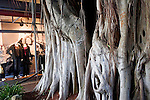 Large Tree Trunk, Bayside Market, Downtown Miami, Florida