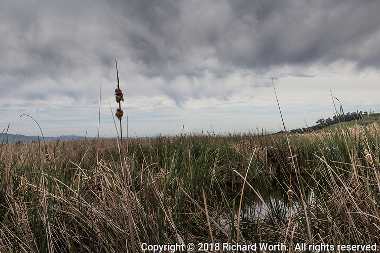 Under a dramtic sky, a cattail has gone to seed among the grasses of the wetlands at Coyote Hills Regional Park