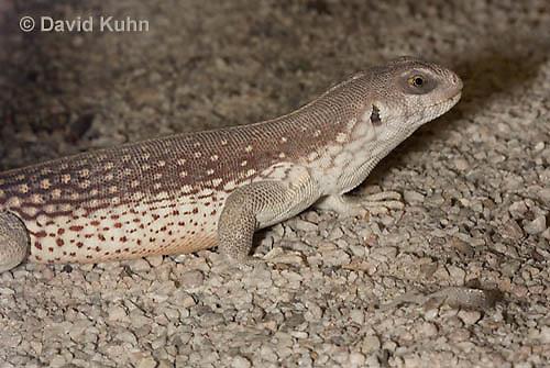 0611-1004  Desert Iguana (Mojave Desert), Dipsosaurus dorsalis  © David Kuhn/Dwight Kuhn Photography
