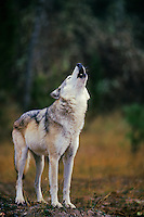 Gray wolf (Canis lupus) howling.