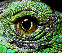 1R10-058c  Iguana - close-up of eye, from Central America - Iguana iguana