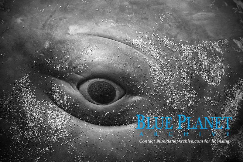 eye of baby sperm whale, Physeter macrocephalus (c)
