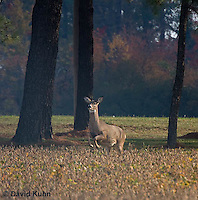 1107-0804  White-tailed Deer, Alert and Running in Autumn, Doe (Female), Odocoileus virginianus  © David Kuhn/Dwight Kuhn Photography
