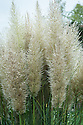 Pampas grass (Cortaderia selloana 'Pumila'), mid October. A perennial, evergreen grass forming a compact clump of narrow, arching dark green leaves to 45cm in length. Silky creamy-white plumes are freely borne on stems to 1.2m in height in late summer.