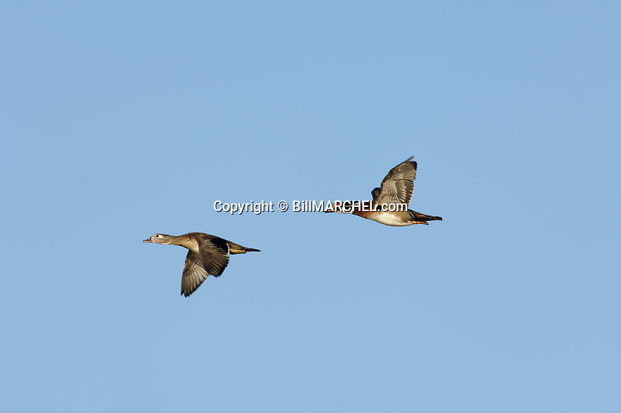00360-083.01 Wood Duck (DIGITAL) pair, male and female in flight against blue sky.  H2L1  Action, color, mates, fly, bird, birding.  H2L1
