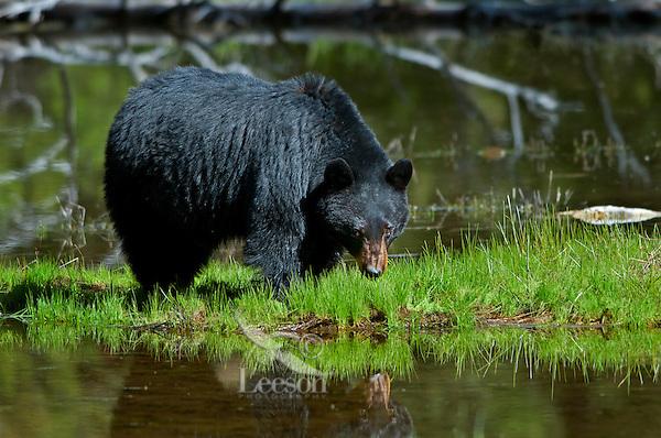 Wild, adult, Black Bear (Ursus americanus) reflecting in small pond.  Western U.S., spring.