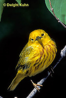 WB01-005x  Yellow Warbler - male, breeding colors  - Dendroica petechia