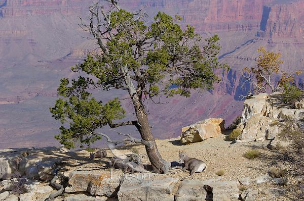 Small group of Desert Bighorn Sheep along south rim of Grand Canyon.