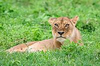 lion (Panthera leo), adult female, lioness, Ndutu, Ngorongoro Conservation Area, Serengeti, Tanzania, Africa