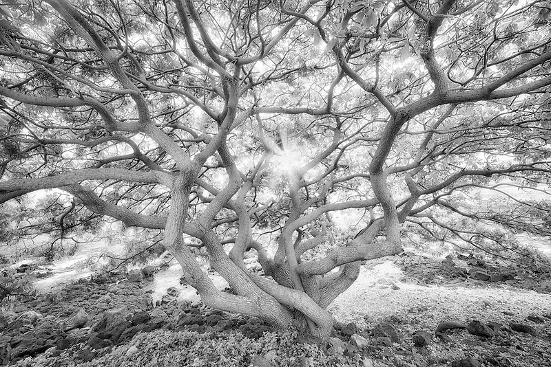 Unidentified wildly branching tree at sunset. Maui, Hawaii