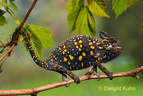 CH39-502z  Female Veiled Chameleon in display colors, Chamaeleo calyptratus