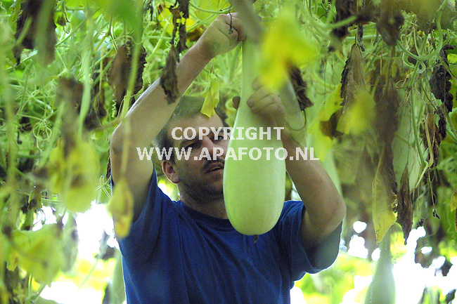 Groessen, 280901<br />De Groene Schuur, ferdinand eeuwes aan het werk met lauki's (een surinaamse groente)<br />Foto: Sjef Prins / APA Foto.