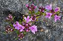 Wild Thyme {Thymus serpyllum} growing in limestone scree. Peak District National Park, Derbyshire, UK. June.