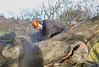 Saturday 10 January 2015<br /> Pictured: Tree Management worker<br /> RE: Severe gales across Wales uproot a 100 year old beech tree from a garden falling across Penllwyn Lane in Graig-Y-Rhacca, Caerphilly, road closed.