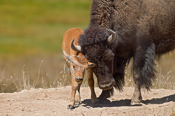 American Bison (Bison bison) cow with calf.  Northern Great Plains.  Summer.