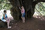 Ankerwycke Yew tree close to the ruins of St Mary's Priory, near Wraysbury in Berkshire UK