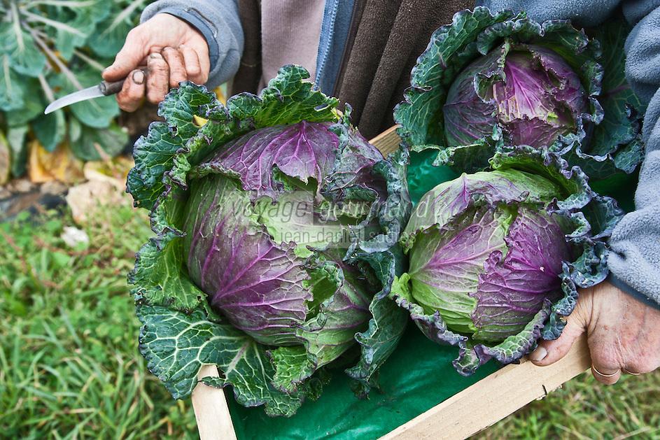 Europe/France/Bretagne/56/Morbihan/Baden: Choux chez   Betty Maheo - Agriculeurs bio - Les Bio de Baden Ferme Biologique