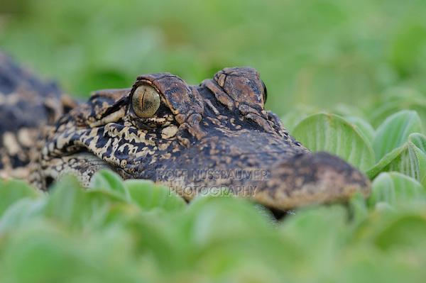 American Alligator (Alligator mississipiensis), adult in water lettuce (Pistia stratiotes), Fennessey Ranch, Refugio, Coastal Bend, Texas, USA