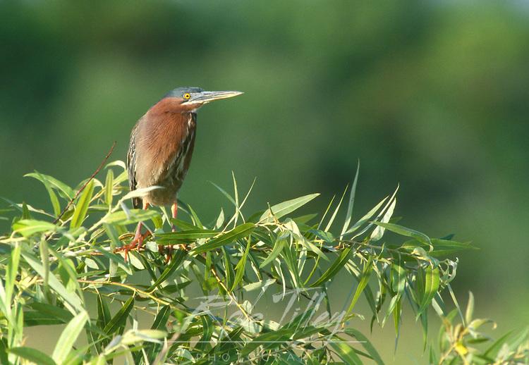 Green Heron, Evergaldes NP, Florida, USA