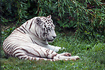 White Tiger laying down eyes partially closed