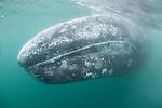 Guerroro Negro, Baja California Sur, Mexico; a gray whale swimming close to the boat