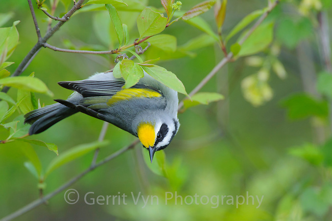 Adult male Golden-winged Warbler (Vermivora chrysoptera) foraging. St. Lawrence County, New York. May.