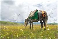 A saddled Tibetan horse.