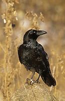 Kolkrabe, mit erbeuteter Maus, Kolk-Rabe, Rabe, Corvus corax, common raven