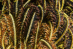 Puerto Galera, Oriental Mindoro, Philippines; the arms of an orange and yellow feather star form complex patterns