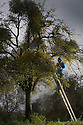 """22/11/16<br /> <br /> As storm Angus lashes England for the second day, organic mistletoe farmer Mark Adams inspects this year's bumper Christmas crop for damage, growing in his apple orchards near Tenbury Wells, where the parasitic plant makes its home.<br /> <br /> Mark said: """"It's been a fantastic year for mistletoe, the mild spring meant there was really great germination so this could be one of the best crops ever.""""<br /> <br /> So as you pucker up this festive season there's a good chance the little white berries above your head will have started life on one of the 1,000 apple trees on Mark's Worcestershire farm, where they have been gathering mistletoe for more than 50 years.<br /> <br /> The crop, which will take Mark and his team of eight workers from now until Christmas to harvest, will all be sold online this year and Mark said he has already got orders from all over the UK, including Scotland and London.<br /> <br /> Mistletoe can be ordered online at www.kissmemistletoe.co.uk<br /> <br /> All Rights Reserved F Stop Press Ltd. (0)1773 550665   www.fstoppress.com"""