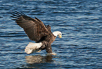 Eagle fishing on the Mississippi River in eastern Iowa, IA
