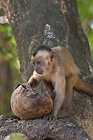 The capuchins are New World monkeys of the genus Cebus. The range of capuchin monkeys includes Central America and South America as far south as northern Argentina. Cebus is the only genus in subfamily Cebinae.