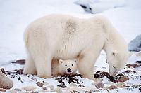 polar bear mother and cub, Ursus maritimus, Churchill, Hudson Bay, Manitoba, Canada ( Atlantic/ Arctic ), polar bear, Ursus maritimus