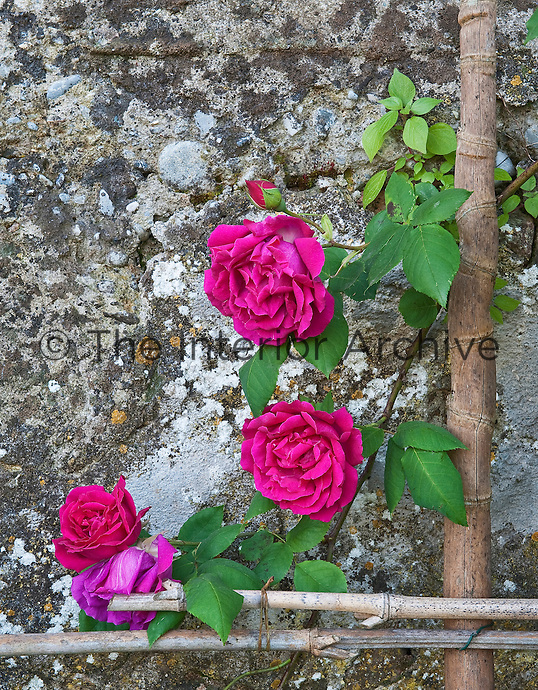 """Rosa """"Ards Rover"""" growing against an ancient stone wall below the gardens of the Villa Massei"""