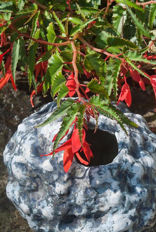 Begonia Million Kisses Romance with pot